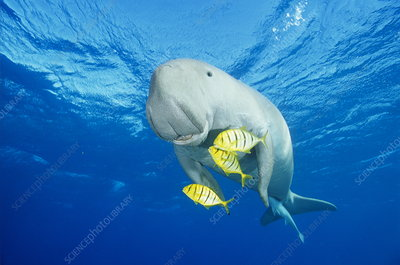 Dugong, remora and golden trevallies