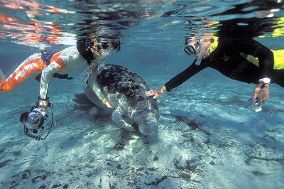 Snorkellers stroking a manatee