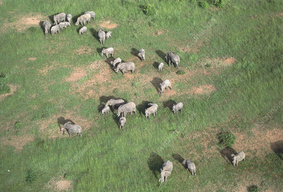 Aerial view of elephant herd (Loxodonta africana)