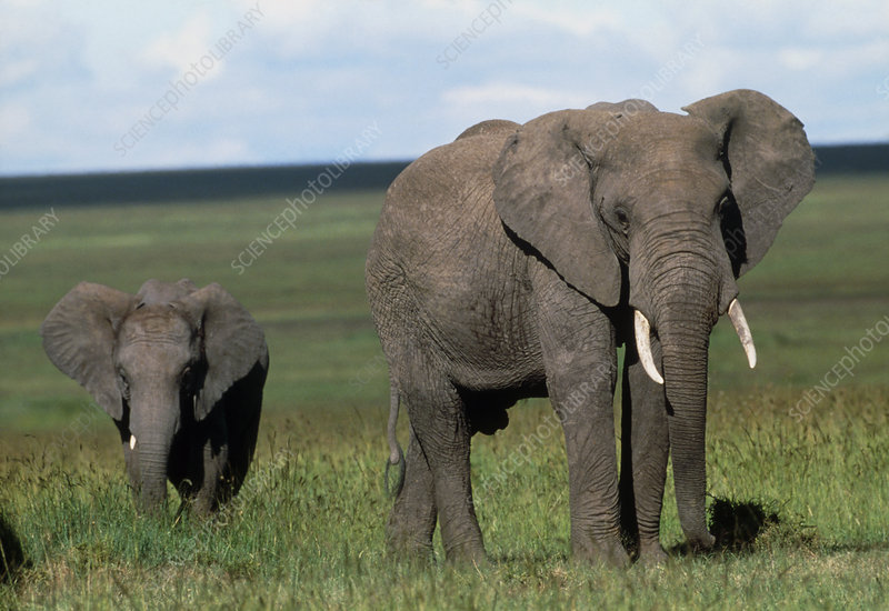 African elephant (Loxodonta africana) cow and calf