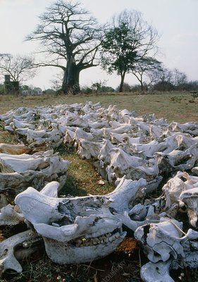 Skulls of elephants and rhinos killed by poachers