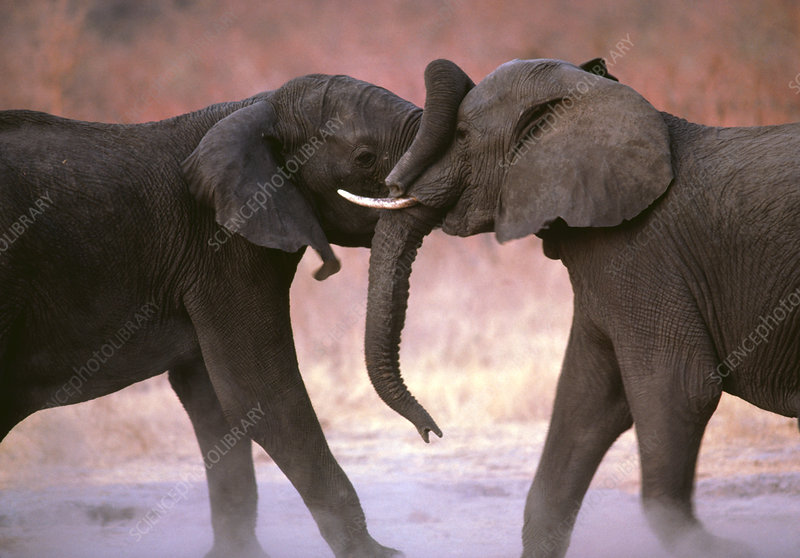 African elephants (Loxodonta africana) sparring