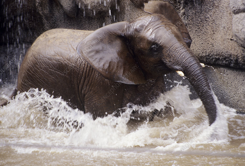 Young elephant bathing