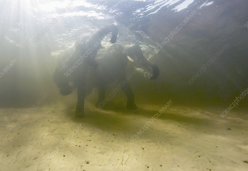 African elephants swimming