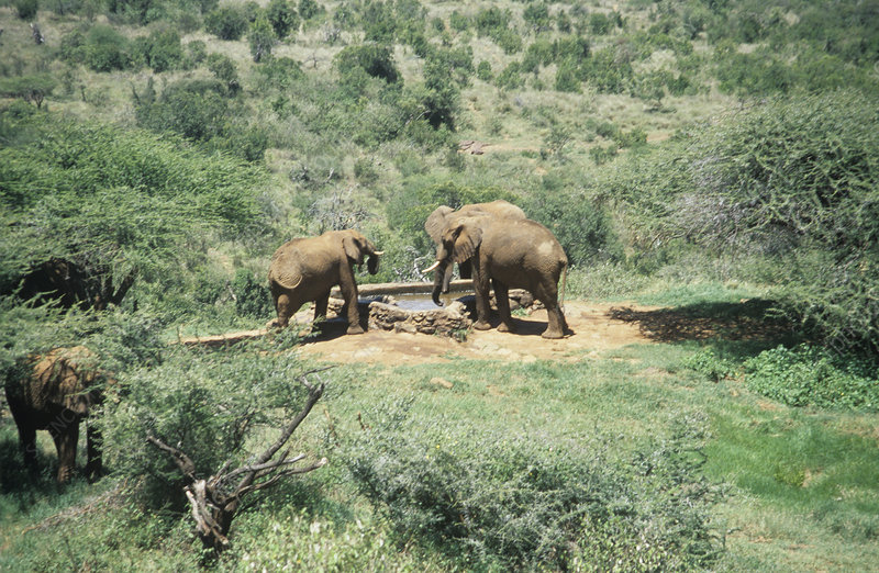 African elephants at a water hole