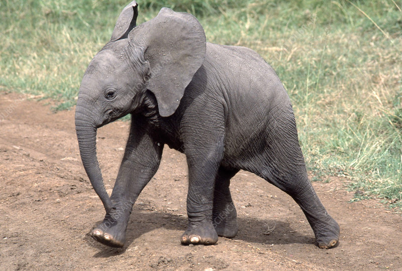 Six-month-old Elephant calf