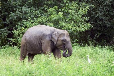 Asian elephant calf (Elephas maximus)