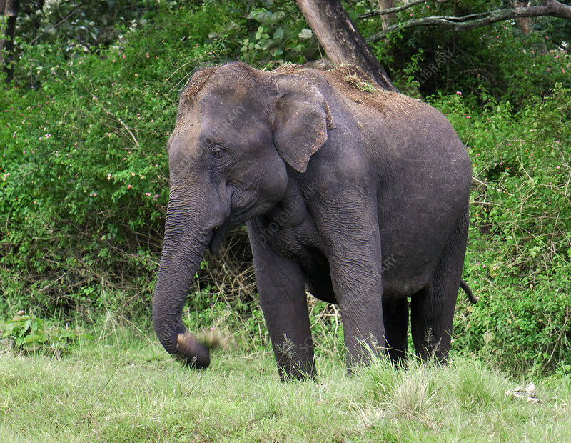 Female Asian elephant feeding