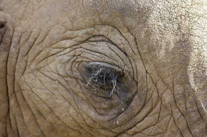 Elephant eye and skin