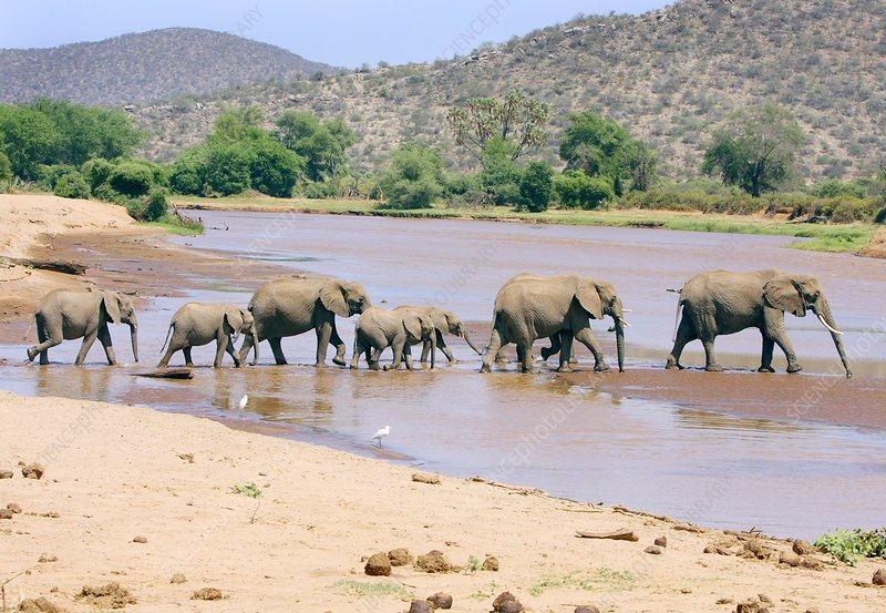 African elephant herd crossing a river