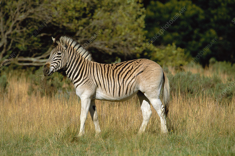 Quagga-like zebra