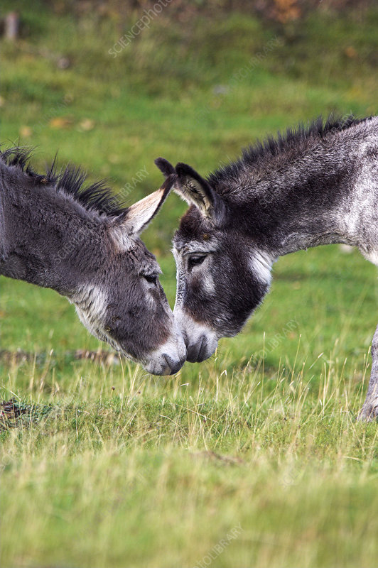 Donkeys touching noses
