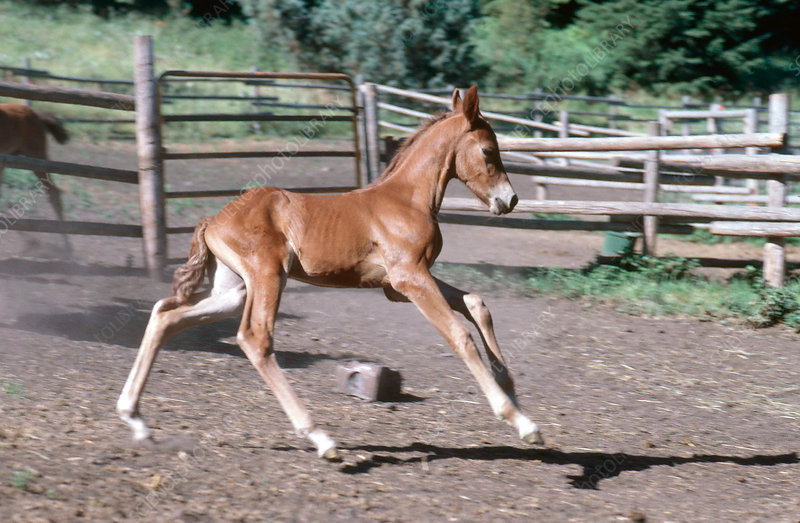 Young Morgan Horse Foal