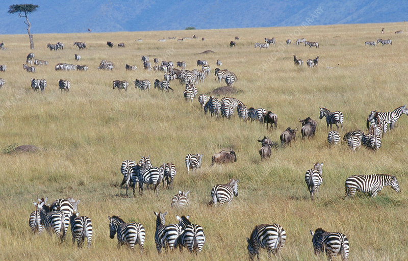 Wildebeest and Zebra Migrating