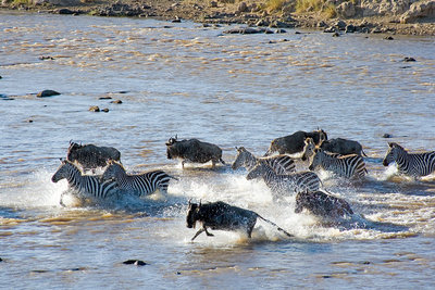Wildebeest and Zebra crossing Mara River