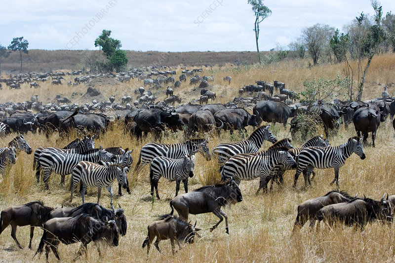 Wildebeest and Zebra at end of migration