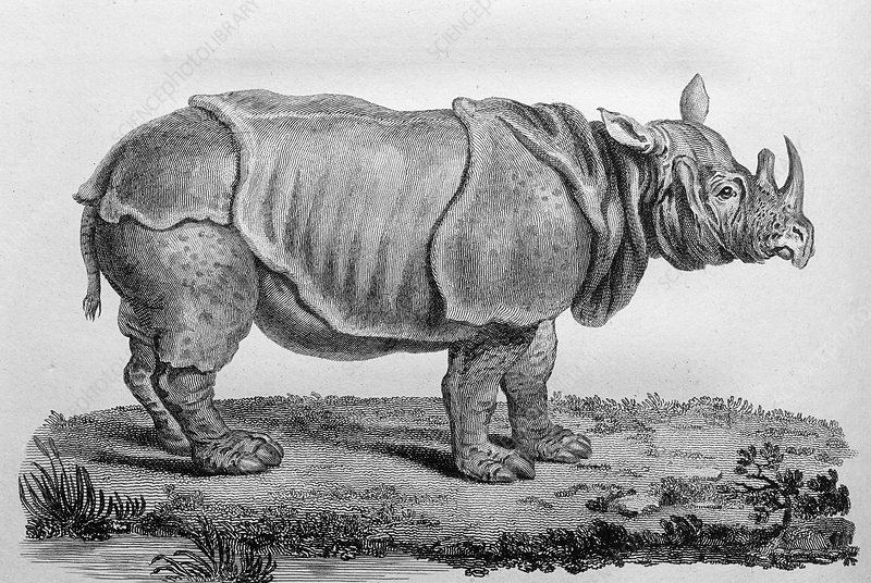 18th century engraving of an African rhinoceros