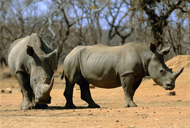 White rhinoceroses