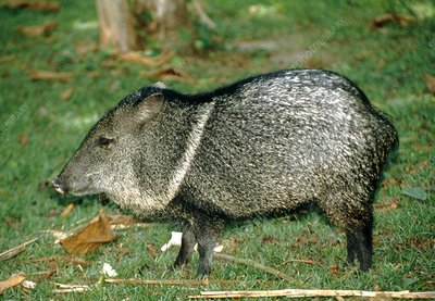 Collared peccary (Tayassu tajacu) at forest edge