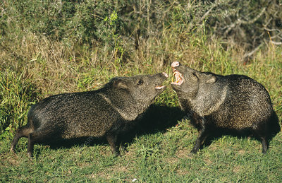 Collared Peccaries fighting