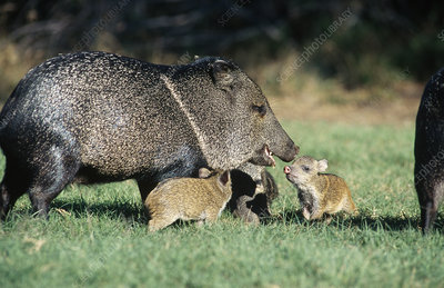 Collared Peccary family