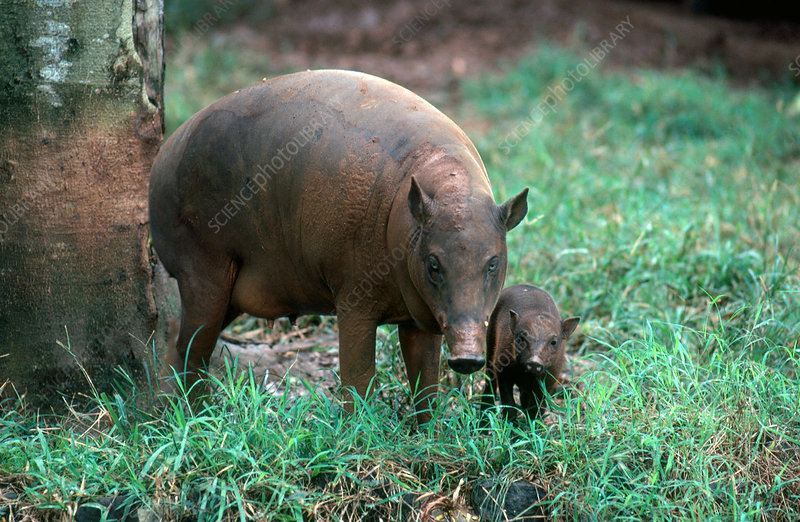 Babirusa Mother with Baby