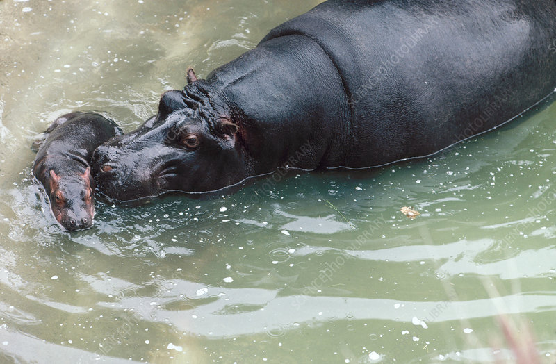 Hippopotamus mother with newborn baby