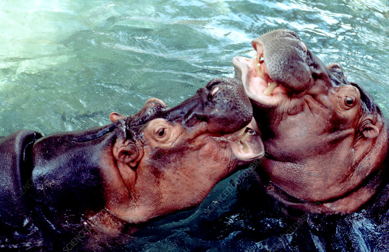 Hippopotamuses playing