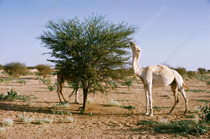 Camel eating Acacia leaves