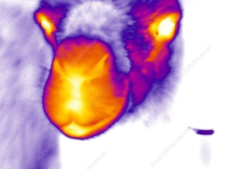 Camel, thermogram