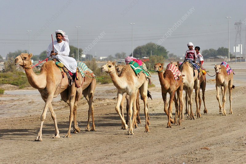 Herd of camels, Dubai