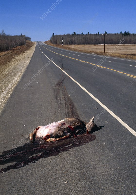 Mule deer road kill