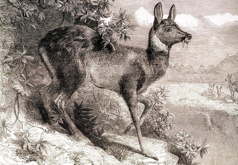 Musk deer, engraving