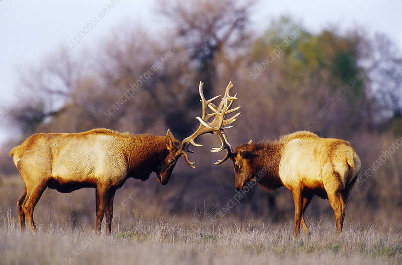 Male tule elk sparring
