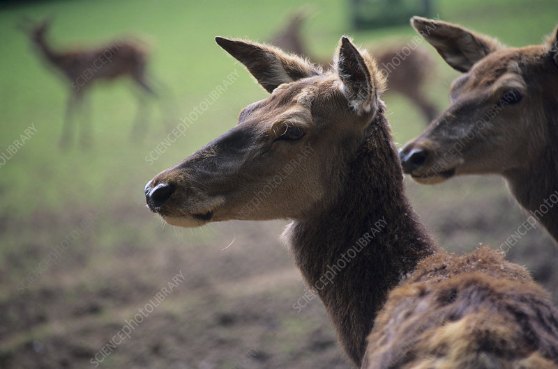 Red deer females