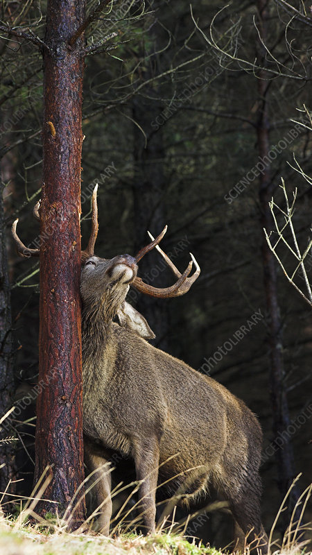 Red deer stag scent marking