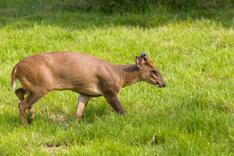 Reeves's muntjac deer