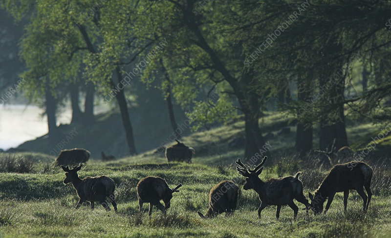 Red deer stags grazing