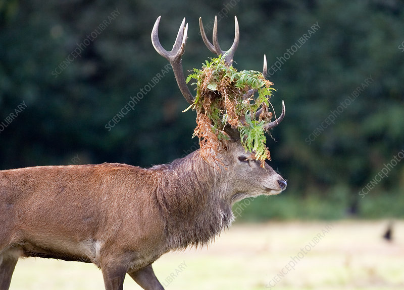 Male European red deer