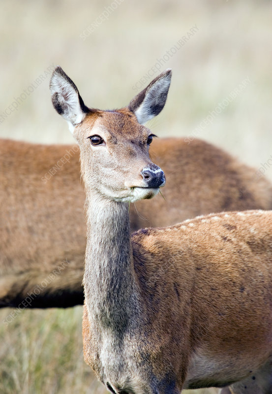 European red deer doe