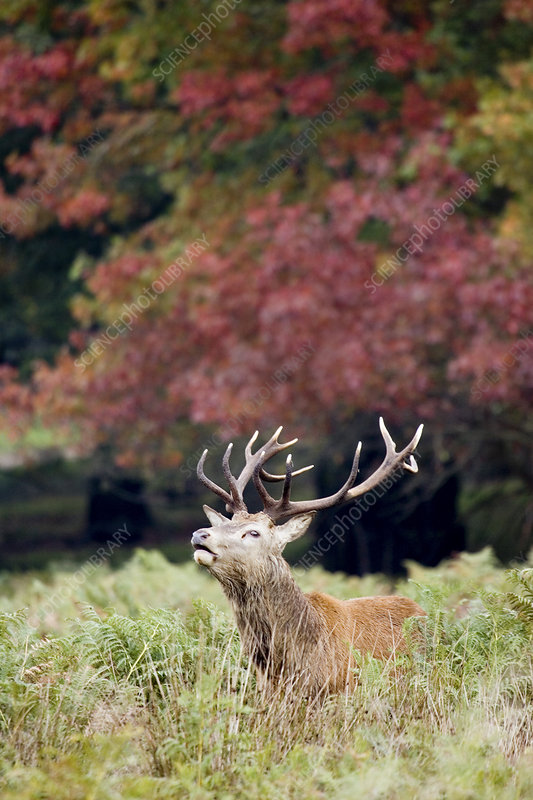 Red deer stag calling