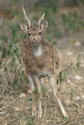 Spotted Deer or Chital