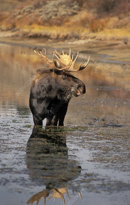 Bull Moose (Alces alces) eating grass