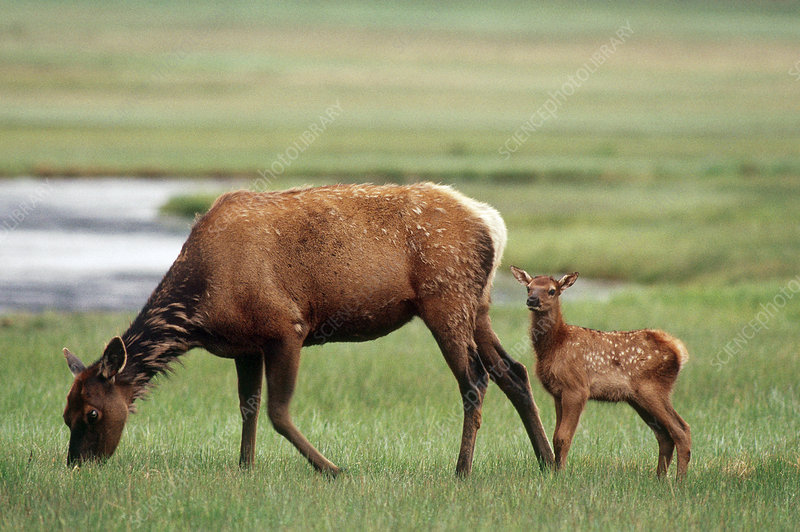 Elk Calf with Mother
