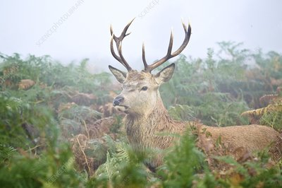 Red deer stag amongst ferns