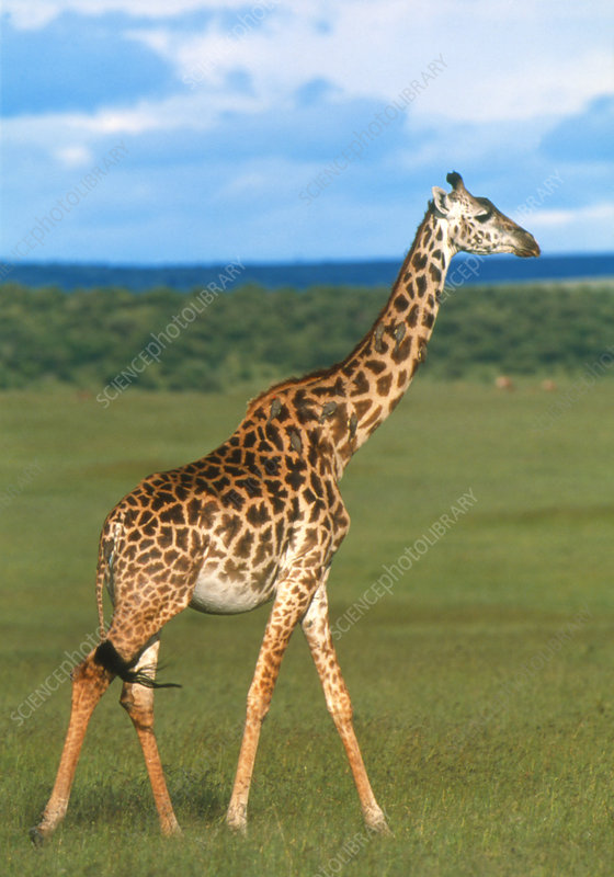 Giraffe (Giraffa camelopardalis) and oxpeckers