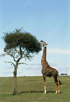 Giraffe (Giraffa camelopardalis) eating from tree