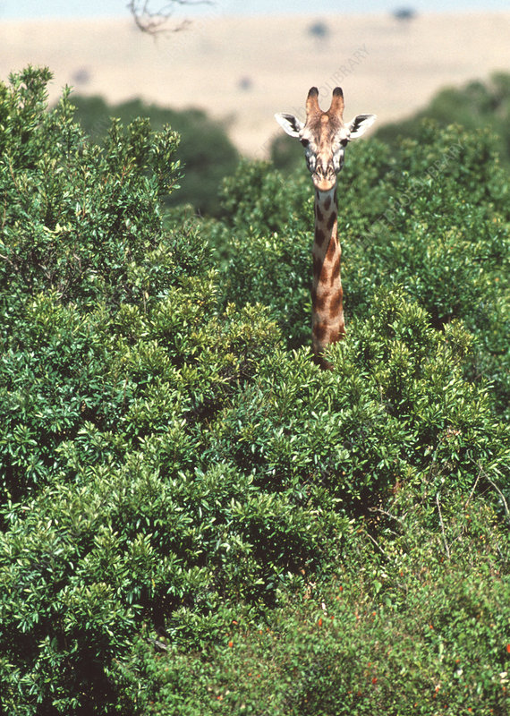 Giraffe in trees