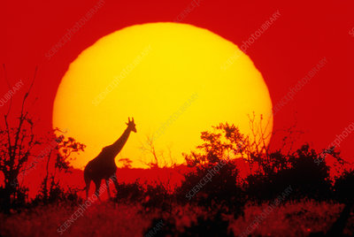 Giraffe silhouetted against African sunset