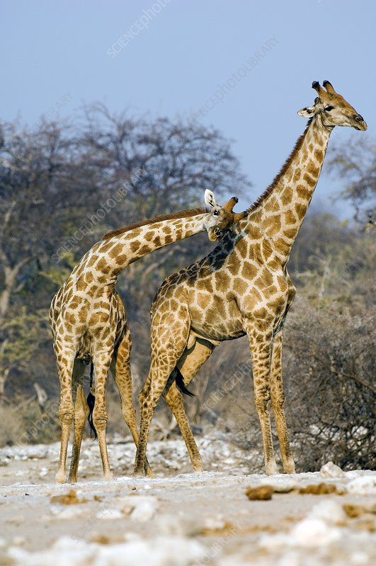 Male giraffes fighting